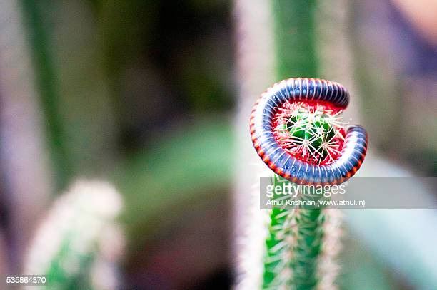 Millipede entwined around a cactus