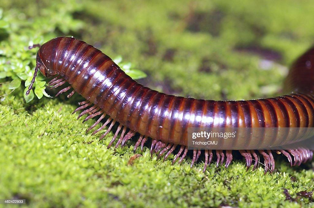 millipede on moss mat : Stock Photo
