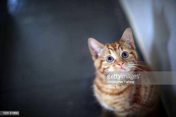 Milly, a 13-week-old kitten looks through the glass of her pen as she waits to be re-homed at The Society for Abandoned Animals Sanctuary in Sale,...