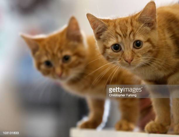 Milly, a 13-week-old kitten waits with her brother Charlie to be re-homed at The Society for Abandoned Animals Sanctuary in Sale, Manchester which is...