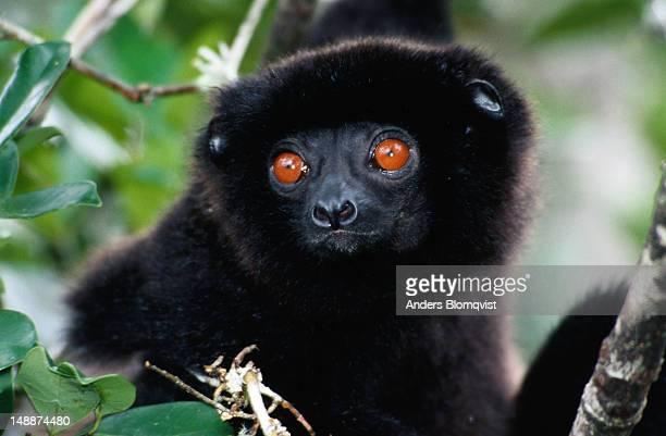 Milne Edwards sifaka (Propithecus diadema edwadsi) lemur.