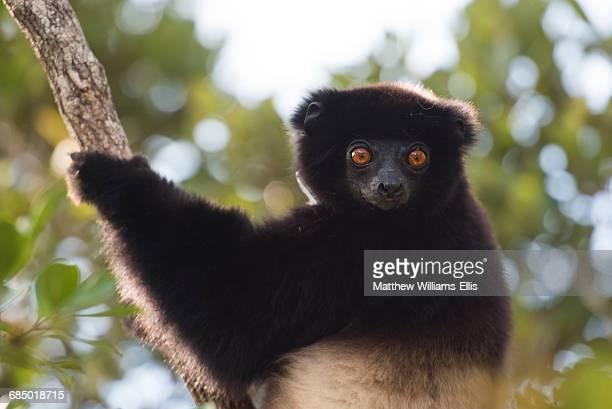 milne-edwards sifaka (propithecus edwardsi), ranomafana national park, madagascar central highlands, madagascar, africa - ranomafana national park stock photos and pictures