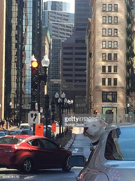 Milo a 3yearold Staffordshire Terrier takes in the sights along Congress Street in Boston on April 8 2016
