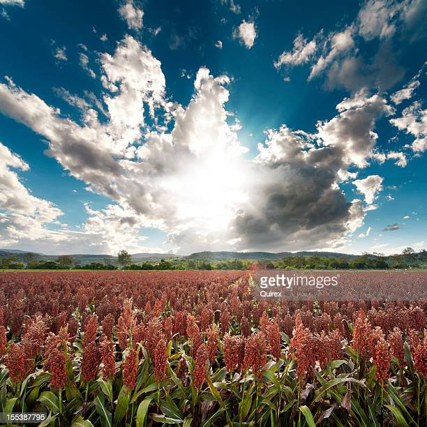 milo field - sorghum stock pictures, royalty-free photos & images