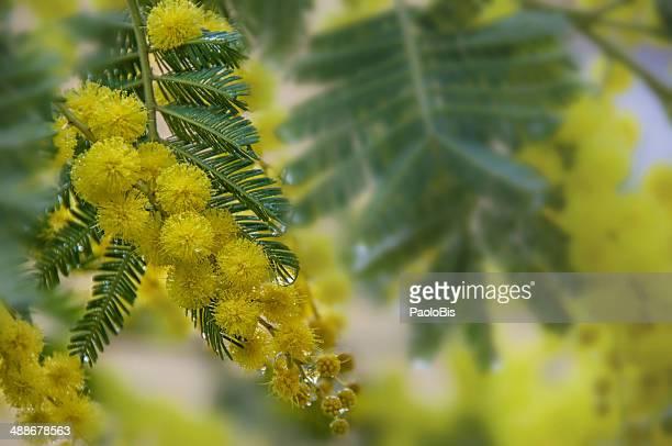 mimosa, acacia dealbata in the rain - mimose foto e immagini stock