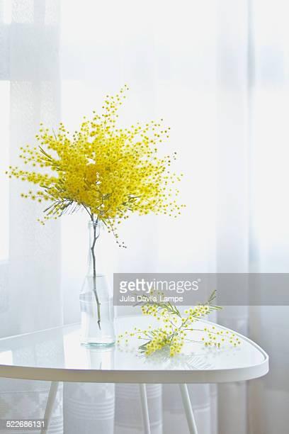 mimosa acacia dealbata - mimose foto e immagini stock