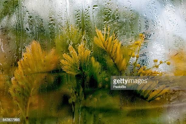 Mimosa, Acacia dealbata waiting to bloom