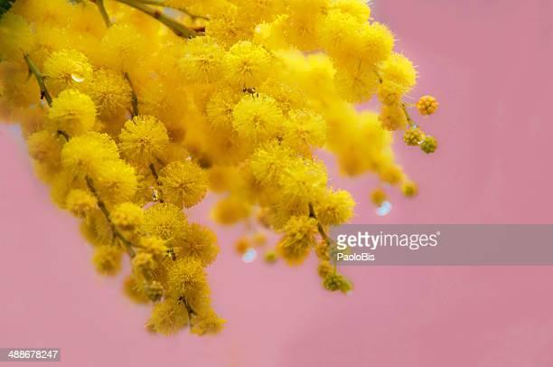 mimosa, acacia dealbata with pink background - mimose foto e immagini stock