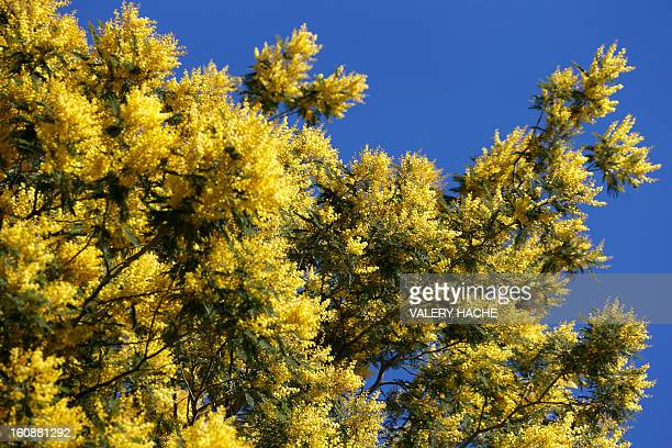 Mimosa are pictured on February 7 2013 in Tanneron southern France AFP PHOTO / VALERY HACHE
