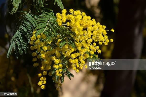 mimosa blossom provence france - mimosa fiore foto e immagini stock