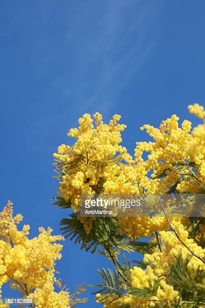 mimosa blossoms against a blue sky