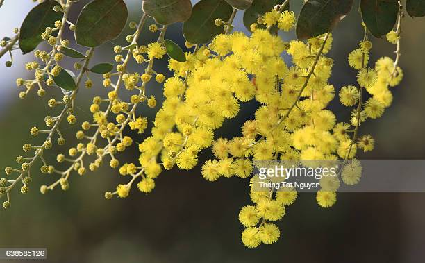 mimosa flower close up - mimosa stock pictures, royalty-free photos & images