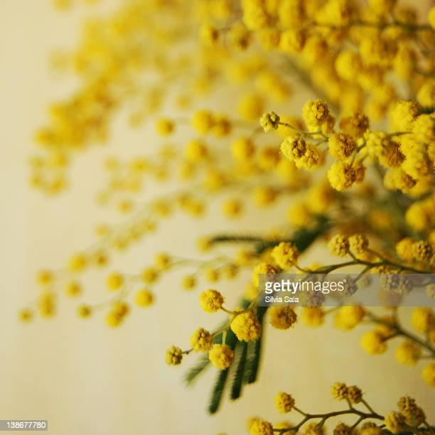 mimosa flower - mimosa flower stock pictures, royalty-free photos & images