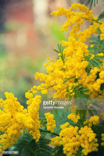 mimosa flowers for womens day - mimose foto e immagini stock