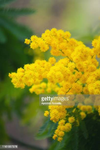 mimosa flowers for womens day - mimosa foto e immagini stock