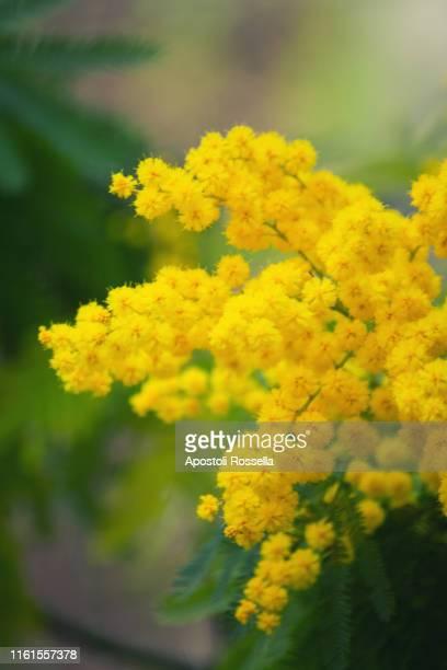 mimosa flowers for womens day - mois de mars photos et images de collection