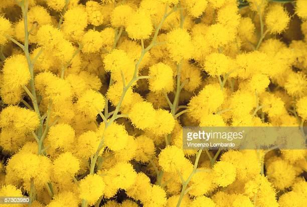 mimosa flowers, full frame. - mimose foto e immagini stock