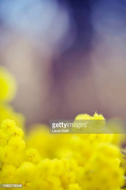 mimosa flowers in bloom against blurry purple background - mimosa fiore foto e immagini stock