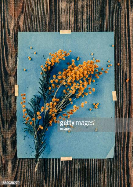 mimosa flowers on blue paper and the wooden table - mimosa fiore foto e immagini stock