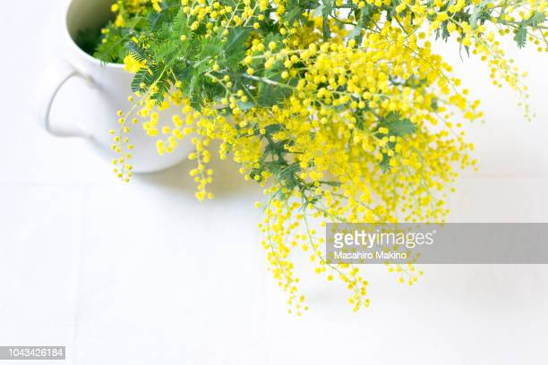 mimosa flowers - mimosa stock pictures, royalty-free photos & images