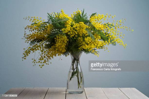 mimosa flowers - mimosa flower stock pictures, royalty-free photos & images