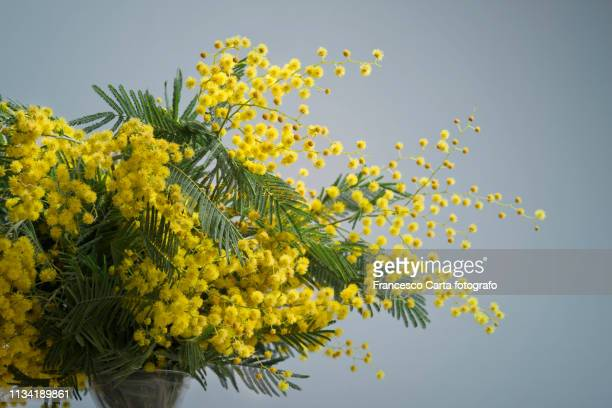 60 Top Acacia Dealbata Pictures Photos And Images Getty Images