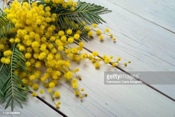 mimosa flowers - mimose foto e immagini stock
