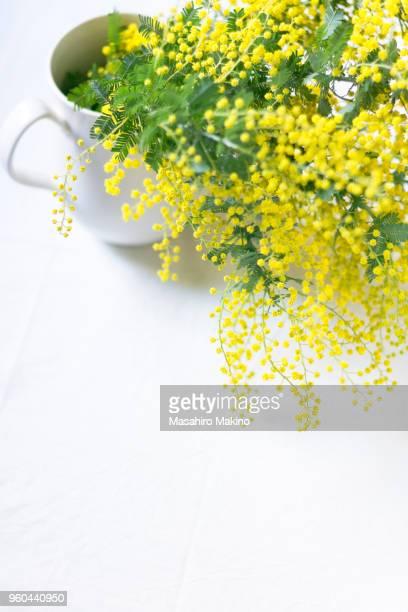 mimosa flowers - mimosa stockfoto's en -beelden