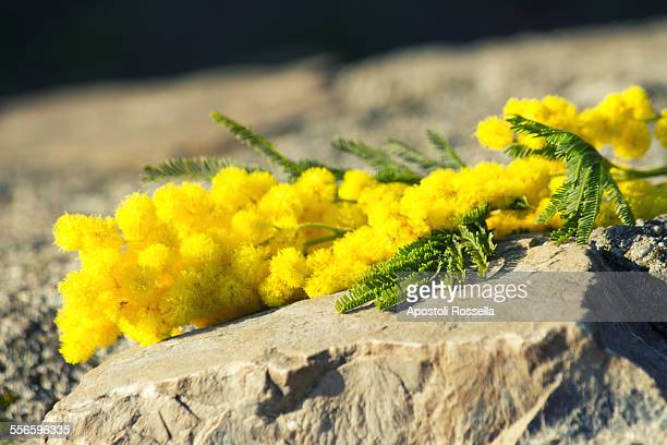 mimosa for women's day - mimosa flower stock pictures, royalty-free photos & images