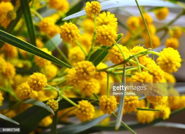 mimosa fower in bloom - mimosa albero foto e immagini stock
