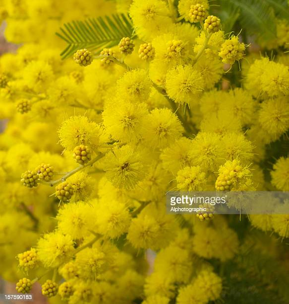 mimosa in flower - acacia tree stock photos and pictures