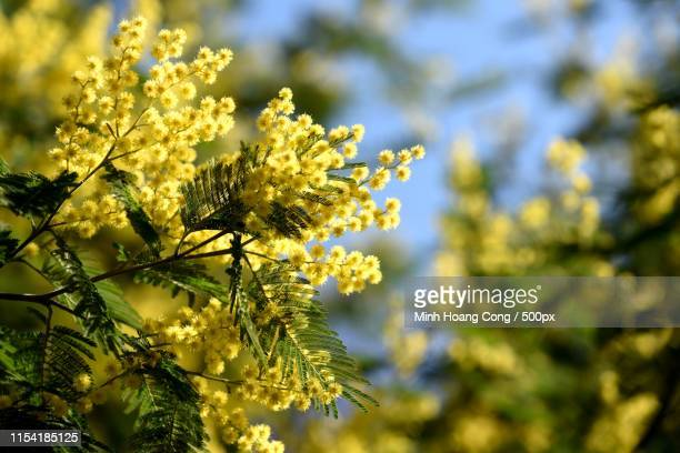 mimosa - mimosa flower stock pictures, royalty-free photos & images