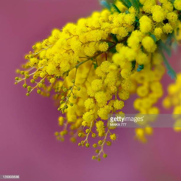 mimosa - mimosa stock pictures, royalty-free photos & images
