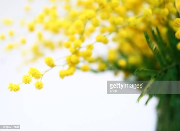 mimosa - mimosa stockfoto's en -beelden