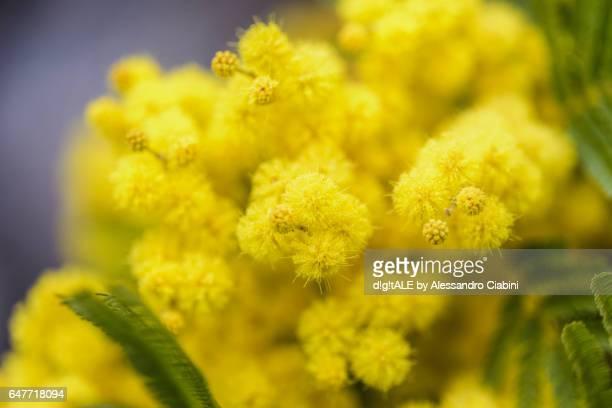 mimosa - mimosa fiore foto e immagini stock