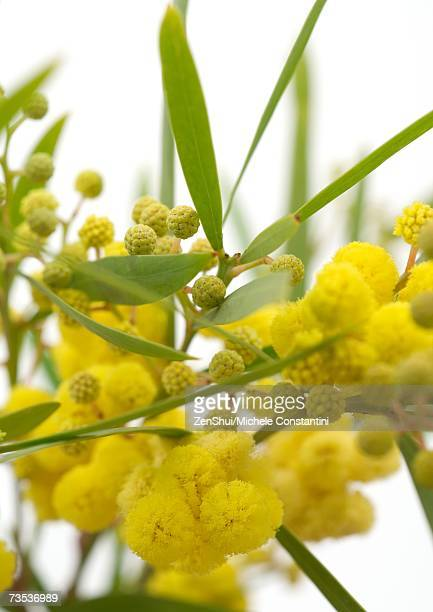 mimosa - acacia tree stock photos and pictures