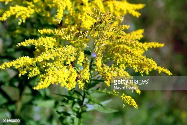 mimosa - mimose foto e immagini stock