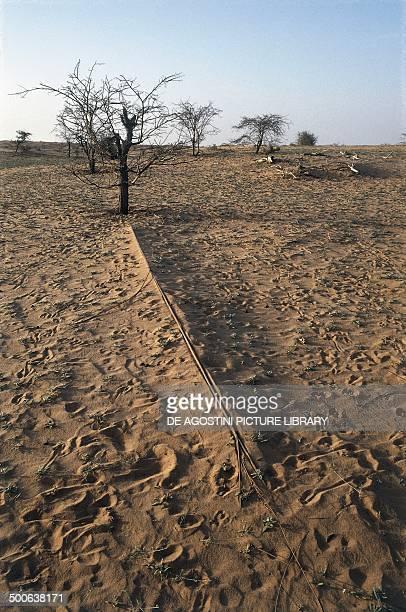 Mimosa root system semidesert Sahel area Mauritania