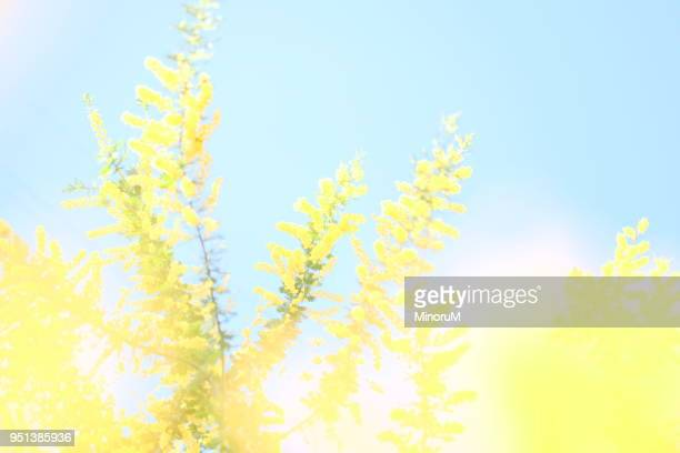 mimosa tree flowering in blue sky - mimosa fiore foto e immagini stock