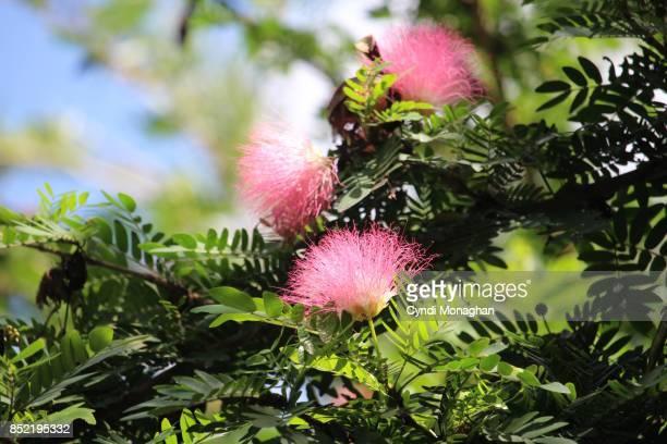 mimosa tree flowers - mimose foto e immagini stock