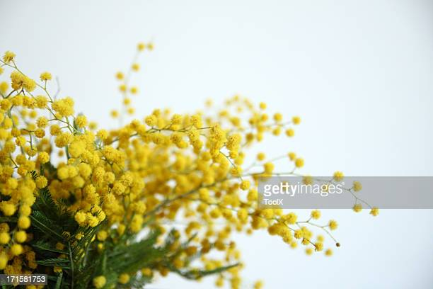 mimosa yellow flowers - mimosa stock pictures, royalty-free photos & images