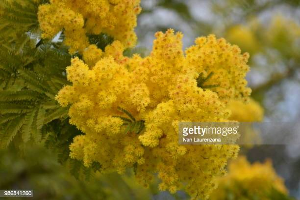 mimose - mimosa flower stock pictures, royalty-free photos & images