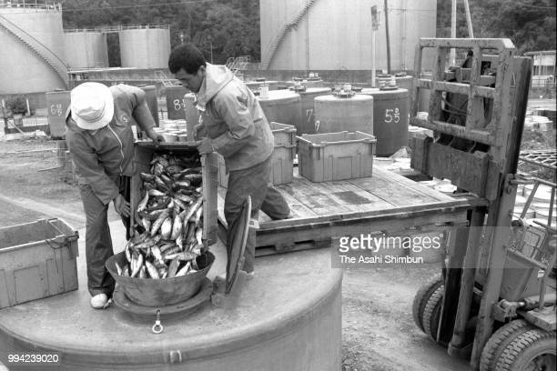 Minamata City officers dispose mercury poisoned fishes into a tank 30 years after mercury poisoning recognised on April 13 1986 in Minamata Kumamoto...