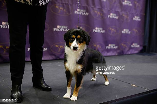 Minature American Shepherd breed is displayed during the 140th annual Westminster Kennel Club Dog Show meet the new breeds at Madison Square Garden...