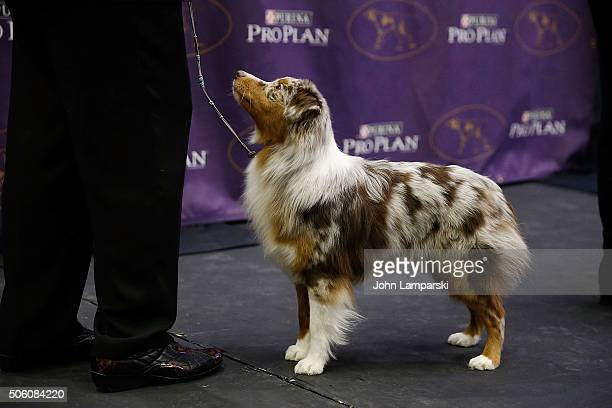 Minature American Shepherd breed named Sky is displayed during the 140th annual Westminster Kennel Club Dog Show meet the new breeds at Madison...