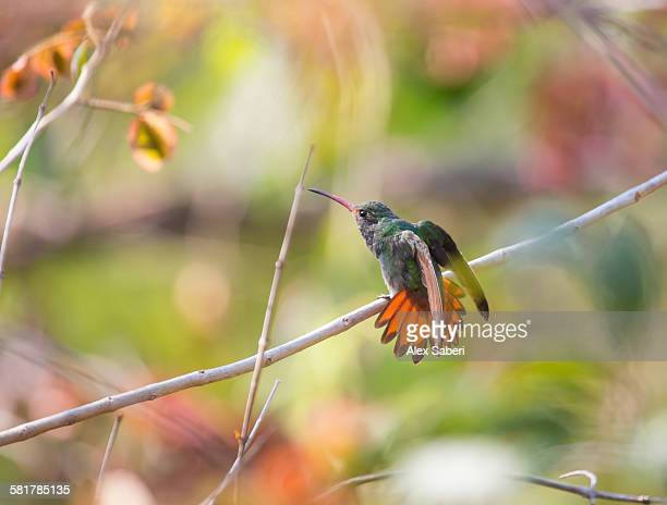 a rufous-tailed hummingbird, amazilia tzacatl, stretching its wings on a branch. - braunschwanzamazilie stock-fotos und bilder
