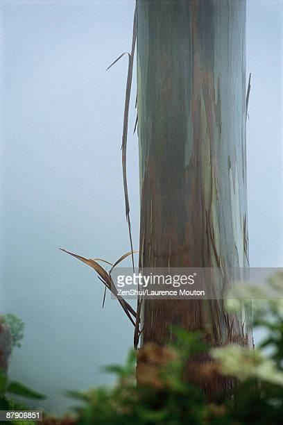 Mindanao Gum Tree (Eucalyptus deglupta), in mist