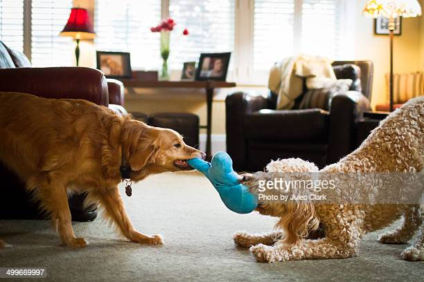 mine - dogs tug of war stock pictures, royalty-free photos & images