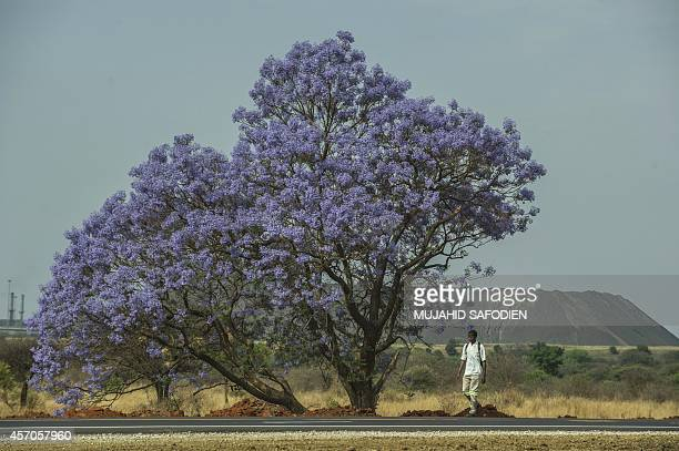 A miner walks past a jacaranda tree in full blossom on his way home in the town of Marikana on October 11 2014 AFP PHOTO/MUJAHID SAFODIEN
