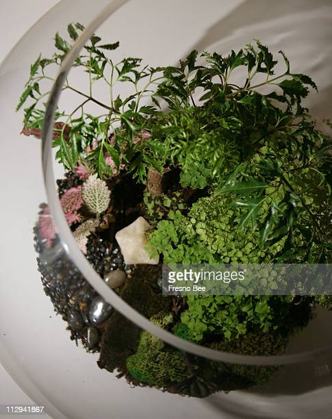 Ming aralia top maidenhair fern center fetonia and peperomia bottom create a unique scene within in a globular terrarium